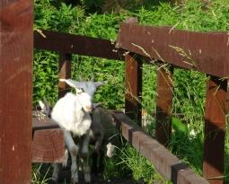 Chèvres et des tronçonneuses, partenaires pour le paysage…