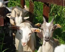 Destination Terrils : les chèvres se portent bien !