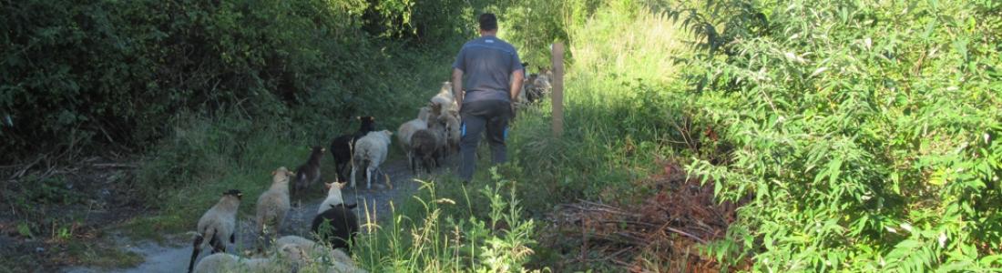 Eco-pâturage sur le terril du Bayemont : en route pour une nouvelle saison au milieu des moutons !