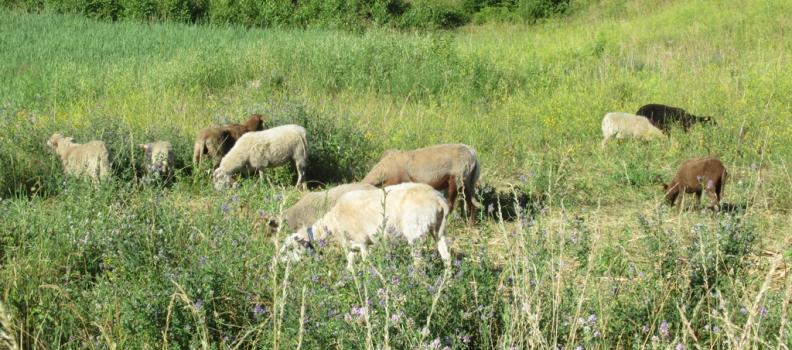 L'éco-pâturage sur les terrils, un mode de gestion qui permet de préserver la biodiversité